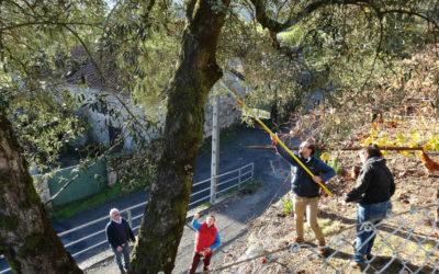 Descobren as 13 variedades de oliveiras centenarias de Galicia