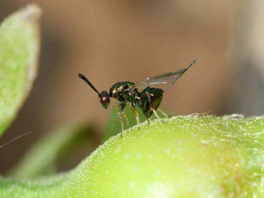 Vespa do castiñeiro: a ameaza dunha reprodución clónica