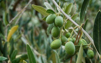 'Brava galega' e 'Mansa galega', primeiras variedades autóctonas de oliveira